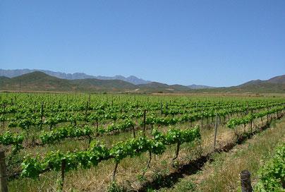 Robertson---vineyards