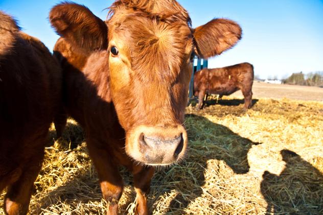 Free-range cattle eating hay