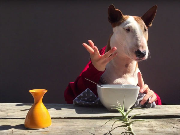 Bull terrier dines at restaurant, has many thoughts to share