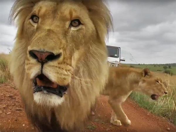 Partner content: The lion whisperer and the filmmaker