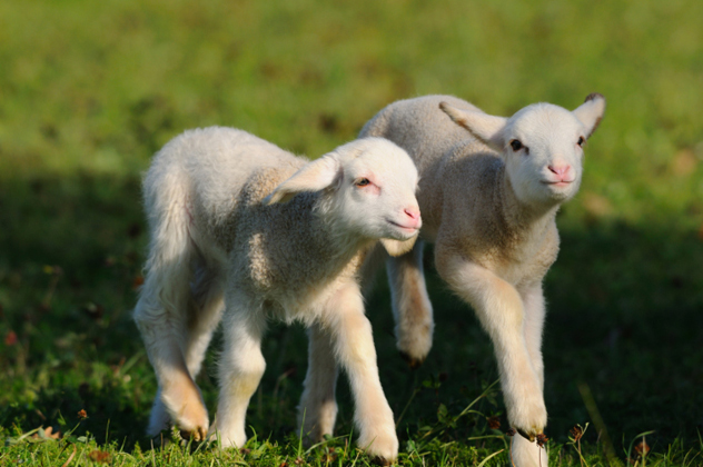 The price of lamb has also sky-rocketed. (Much to Jessie and Steve's relief.) Photo: Thinkstock.