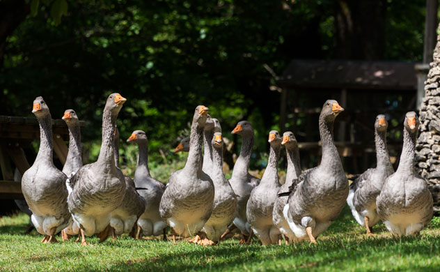 Foie gras geese at a goose farm. Photo Thinkstock.