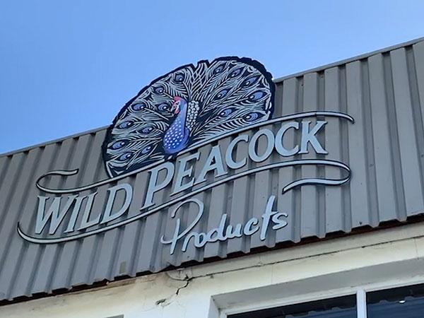The Comeback Series: Wild Peacock